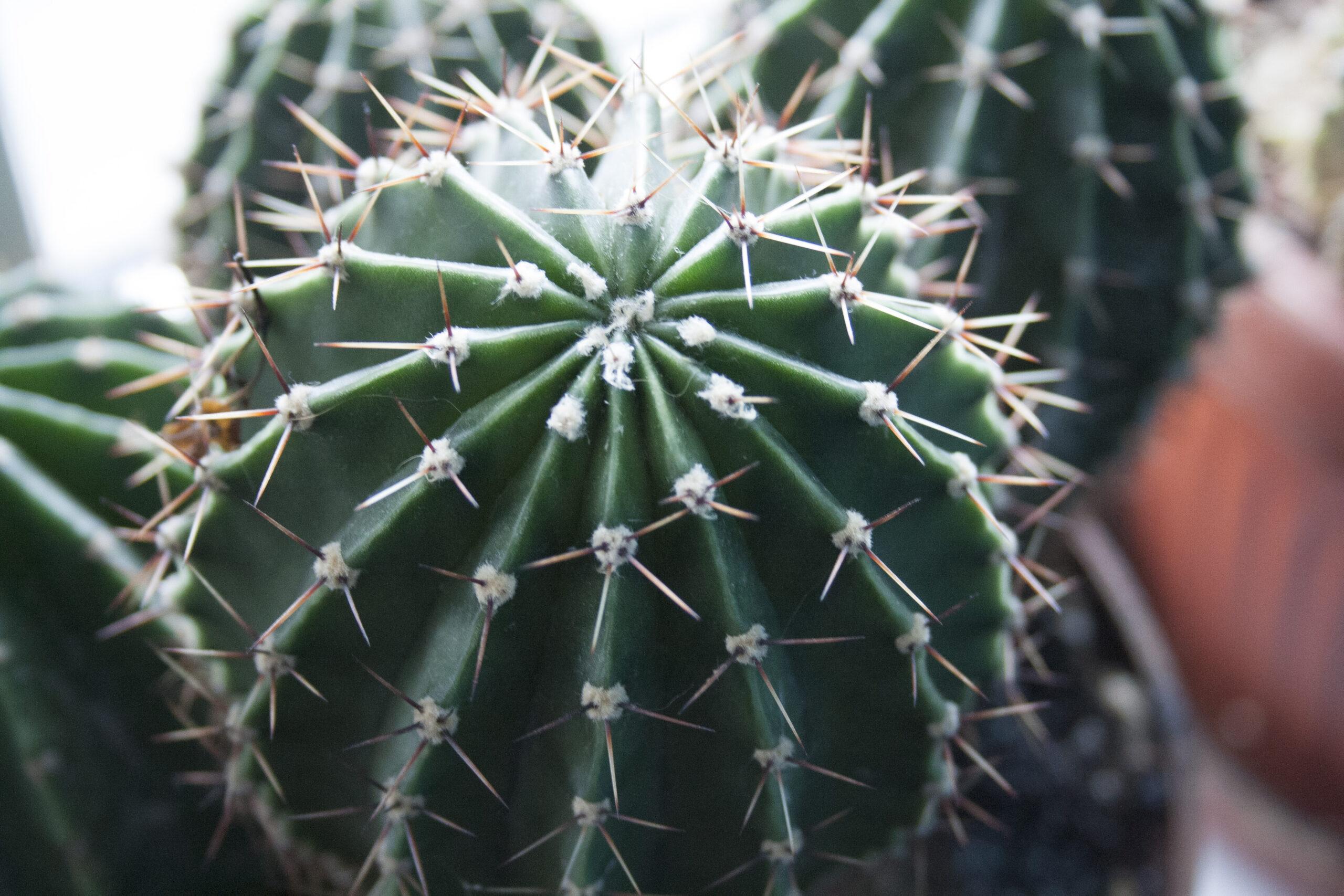 Привязка человека с помощью иголок кактуса