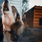 Шепоток если услышали собачий вой