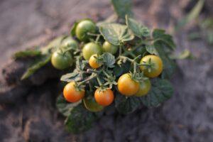 Заговор для защиты урожая от вредителей
